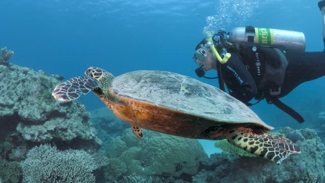 A large turtle swims alongside a female scuba diver A Green Sea Turtle swims close to a female scuba diver as she glides over a colorful tropical reef aqualung diving equipment stock videos & royalty-free footage