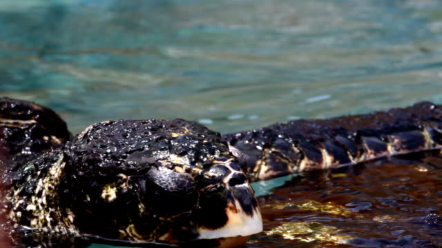 Large turtles Large turtles swim in the artificial pool turks and caicos islands stock videos & royalty-free footage