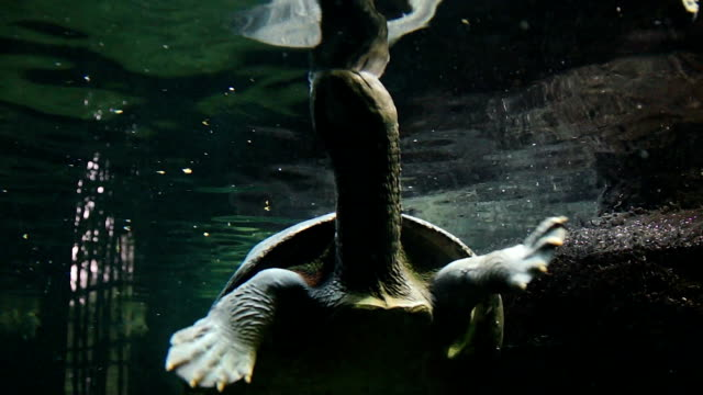 Large water turtle taking in air video