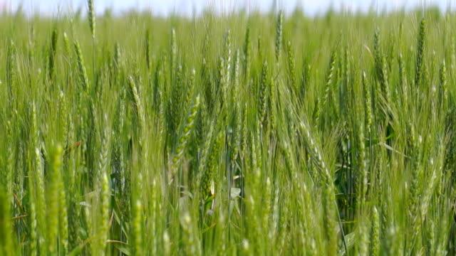 Large Wheat Field video
