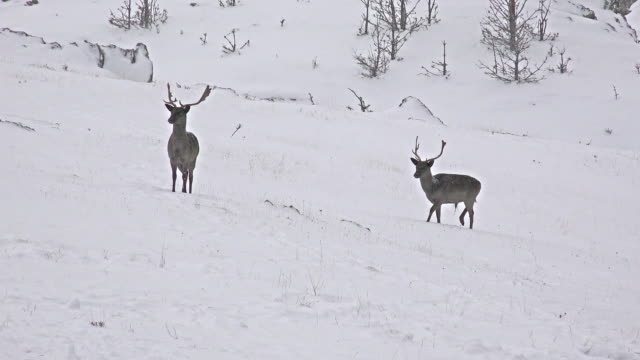 Large whitetailed deer buck in an snow open meadow, uhd stock video video
