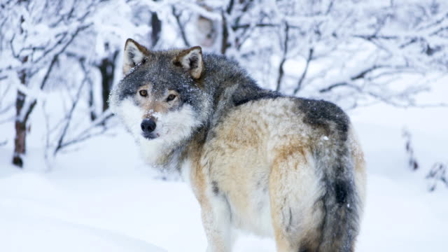 Large wolf walking away into snowy winter landscape Large wolf walking away into winter forest looking for enemies. Snow fall in slow motion. scandinavia stock videos & royalty-free footage