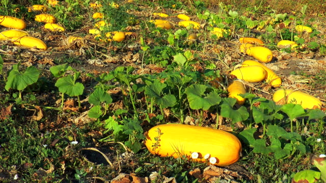 Large yellow zucchini in the garden video