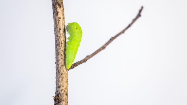 larva pupae on a branch - farfalla ramo video stock e b–roll