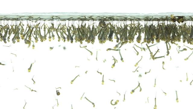 Larva mosquito larva larva stock videos & royalty-free footage