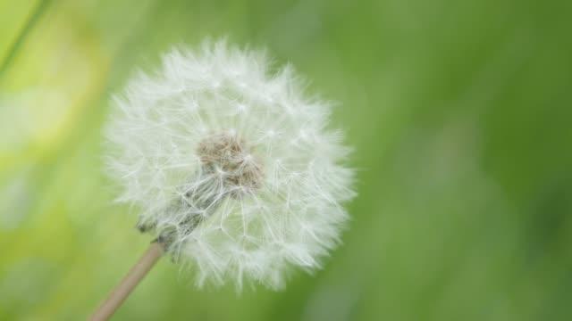 Last in the field Taraxacum flower green natural background 4K