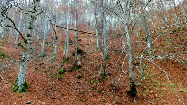 Late autumn forest red beech trees with no leaves video