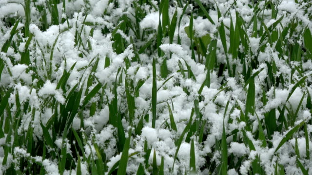 Late  snowfall in May on young wheat sprouts video