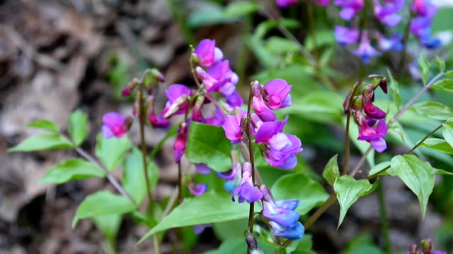 Lathyrus vernus purple flower in the shade in spring forest. Shooting static camera. Light wind video