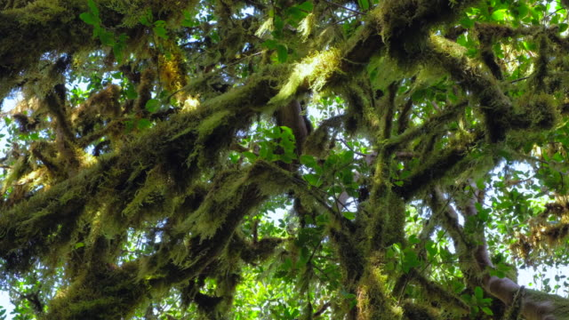 Laurisilva / Fog forest ' Monteverde ' in Garajonay National Park in La Gomera / Spain video