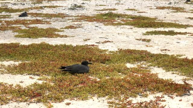 vídeos de stock, filmes e b-roll de gaivota de lava, aninhando-se em uma praia na ilha genovesa, ilhas galápagos - ilha genovesa