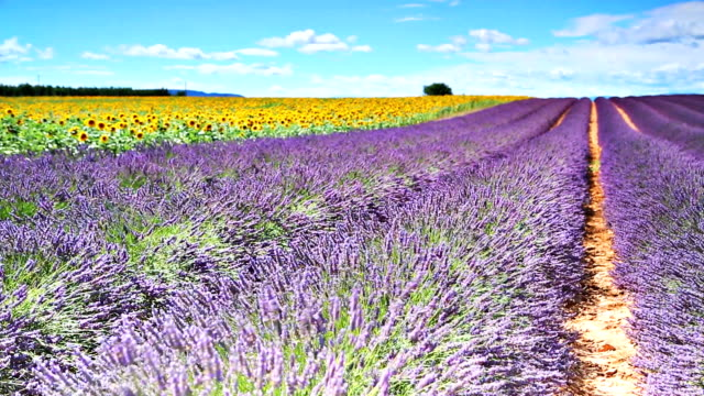 Lavander and sunflowers video