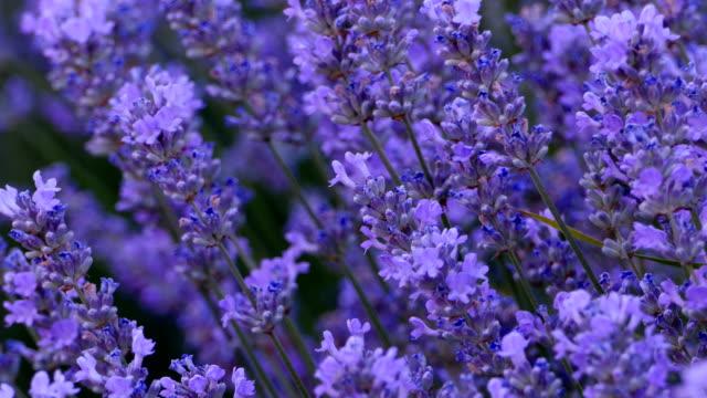 vídeos de stock e filmes b-roll de lavender 4k - lavanda planta