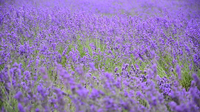 Lavender Against the wind. video