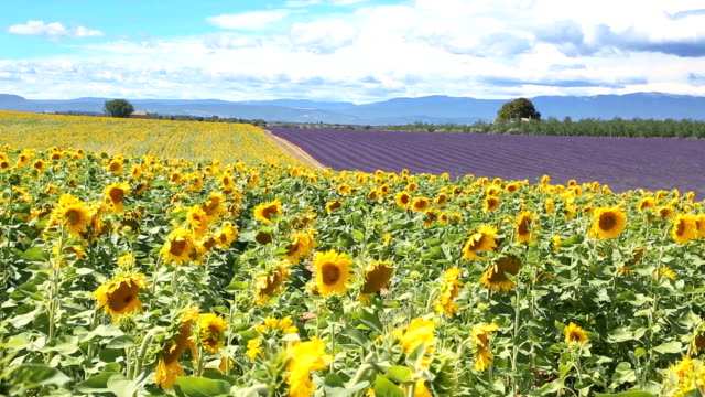 Lavender and Sunflowers  in Plateau de Valensole video