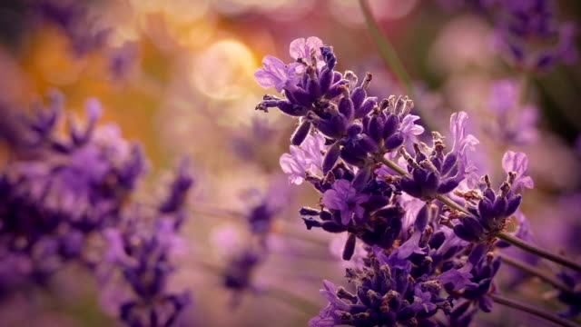 Lavender At Sunset Closeup video