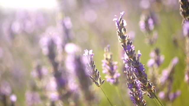 Lavender field at sunset video