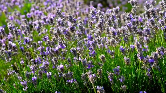 vidéos et rushes de champ de lavande, fleurs de lavande tendre belle sur un vent. - couleur saturée