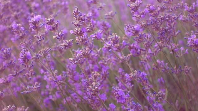 Lavender field, beautiful tender lavender flowers.