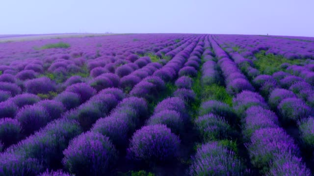 lavender field in bloom - aerial view - fitoterapia video stock e b–roll