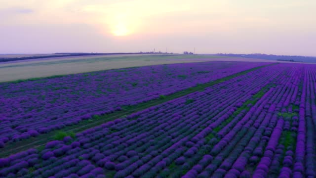 Lavender field in bloom at sunset - Aerial View