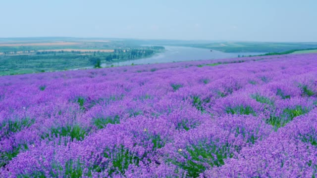 Lavender field in bloom with flying butterflies on a hill above the river