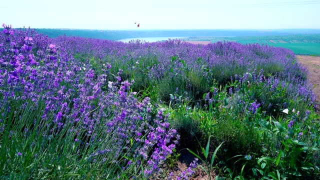 Lavender field in bloom with flying butterflies on a hill near the river Close-up of lush lavender bushes in bloom lavender plant stock videos & royalty-free footage