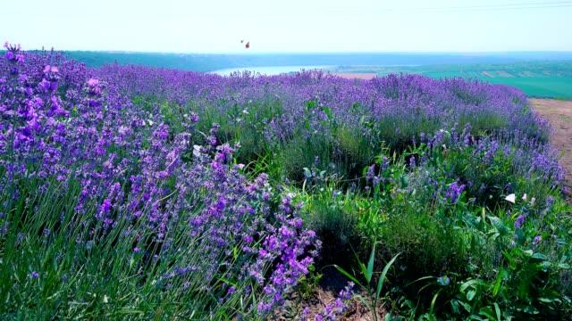 vídeos de stock e filmes b-roll de lavender field in bloom with flying butterflies on a hill near the river - lavanda planta