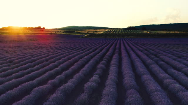 Lavender field in Provence and beautiful sunset over the farmland Lavender field in Provence and beautiful sunset over the farmland. provence alpes cote d'azur stock videos & royalty-free footage