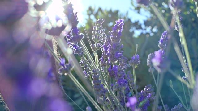 provence, fransa'da lavanta tarlası. blooming violet kokulu lavanta çiçekleri. büyüyen lavanta gün batımı gökyüzü, hasat üzerinde rüzgar sallanan. güneş parıltısı ve bokeh.  yakından kapatın. yavaş hareket - provence alpes côte d'azur stok videoları ve detay görüntü çekimi