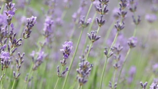 Lavender field. video