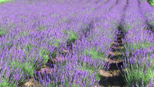 HD, NTSC: Lavender field (video) video