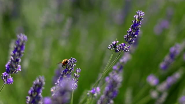Lavender field Bee at lavender field lavender plant stock videos & royalty-free footage
