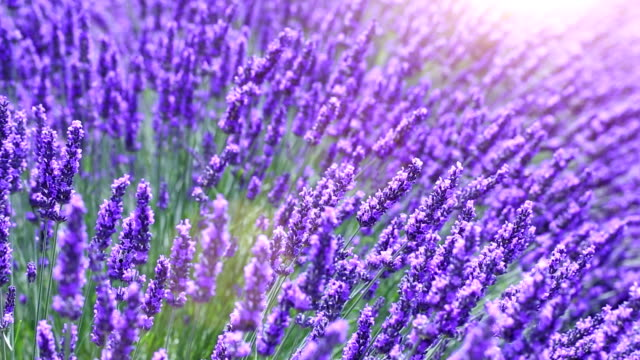 lavender field (loop) video