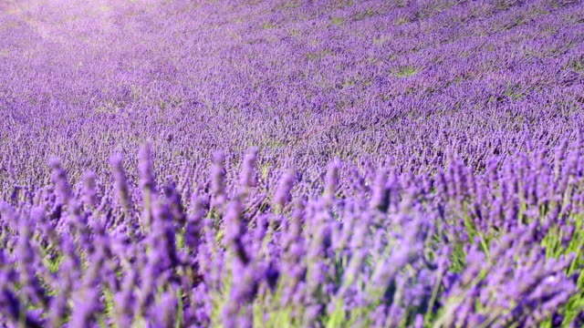 lavender field (dolly shot) fields of blooming lavender flowers - Provence, France; dolly shot lavender plant stock videos & royalty-free footage