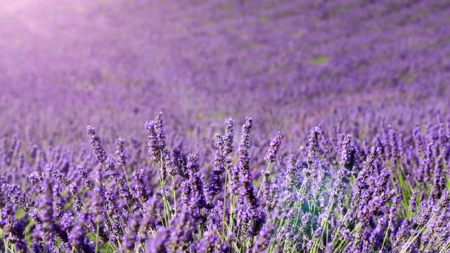lavender field (loop) - naturopathy stock videos and b-roll footage