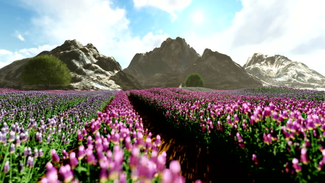stockvideo's en b-roll-footage met lavendel veld met bergen op de achtergrond - floral line