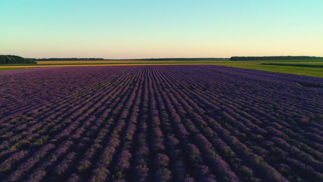 vídeos de stock e filmes b-roll de lavender fields at sunset with dramatic sky video - lavanda planta