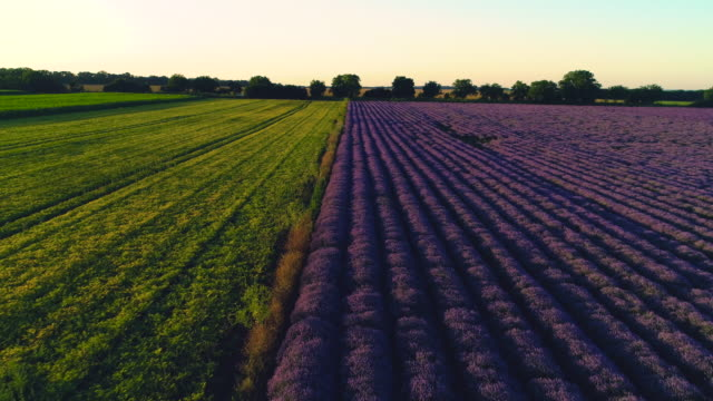 Lavender fields in the countryside during sunset, aerial drone view