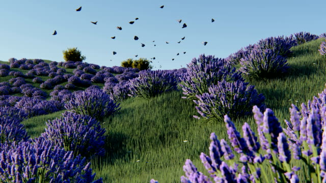 Lavender fields Lavender fields at dawn provence alpes cote d'azur stock videos & royalty-free footage