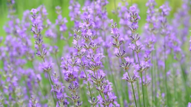 Lavender flower blooming scented field. Bright green natural background video