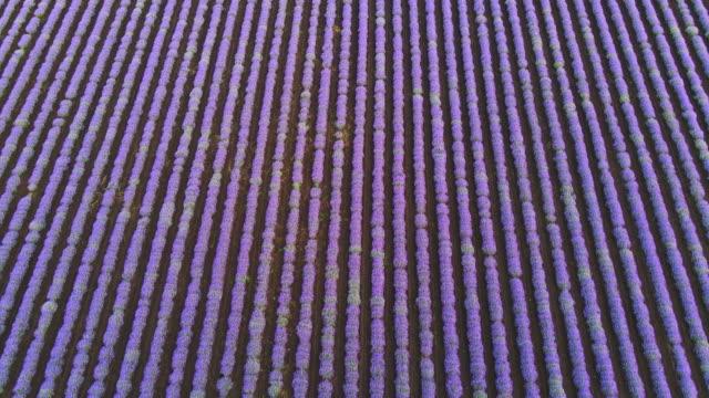 ラベンダーの花が咲き誇る明るい紫色のフィールド青い空の夕日空中写真ドローン前方。ラベンダーの植物。アロマセラピー。リラックス。太陽の最後の光線。テクスチャスムーズな行ラベ� - 布点の映像素材/bロール