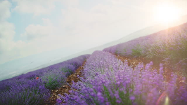 Lavender flowers blooming in farm during sunrise Lavender plants against sky during sunrise. Idyllic view of agricultural landscape. Flowers are blooming in farm. lavender plant stock videos & royalty-free footage