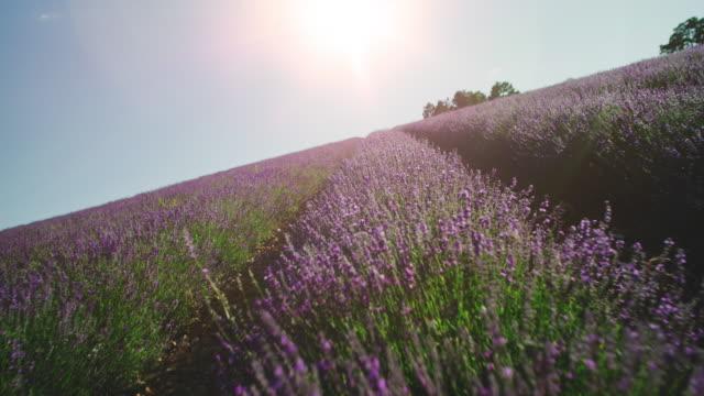 Lavender flowers blooming in farm during sunrise Lavender plants against sky during sunny day. Idyllic view of agricultural landscape. Flowers are blooming in farm. lavender plant stock videos & royalty-free footage