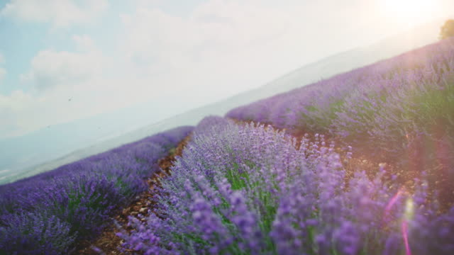 Lavender flowers blooming on field during sunrise Tracking shot of lavender plants against sky. Idyllic shot of landscape during sunrise. Flowers are blooming on field. lavender plant stock videos & royalty-free footage