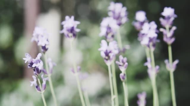 ラベンダーの花、クローズアップ。花柄の内装。香水、化粧品、医療の概念。 - 薬草点の映像素材/bロール