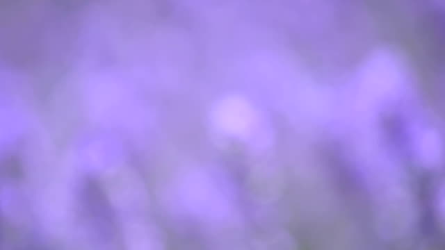 lavender flowers in a meadow, close up video