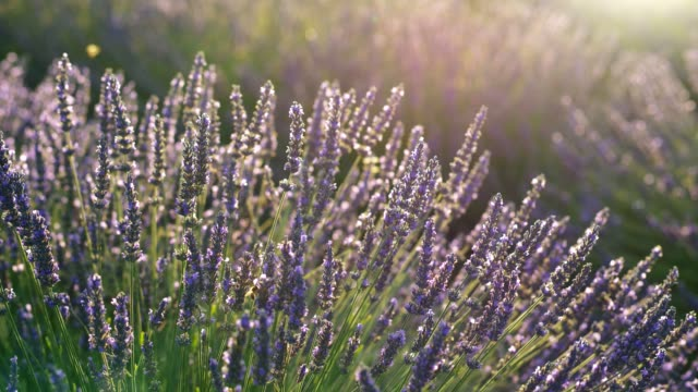 vídeos de stock e filmes b-roll de lavender flowers in sunset lights - sul