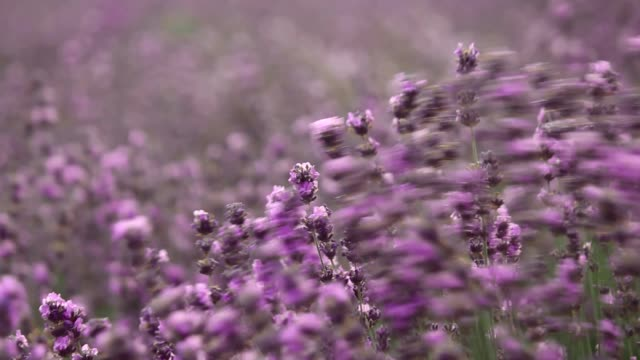 Lavender flowers, purple flowers on the lavender field. A bouquet of fragrant and fragrant flowers.