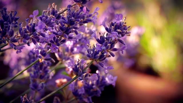 vídeos de stock e filmes b-roll de lavender in sunny evening garden - lavanda planta